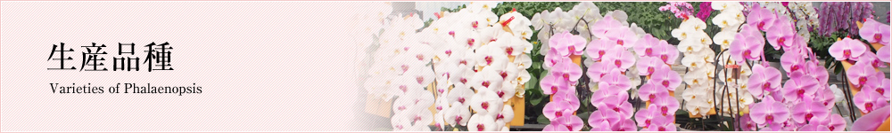 胡蝶蘭の品種紹介